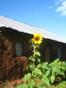 Sonnenblume vor Simon's Hütte