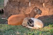 Auch die Schafe und Ziegen haben ein herrliches Dasein,...