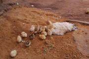 Von Geburt an Freilandhühner.